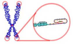 Telomery wchromosomie X